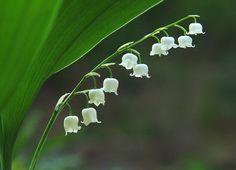 """05월 17일의 꽃 - 은방울꽃 , 꽃말 """"틀림없이 행복해집니다"""""""