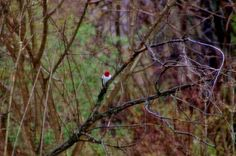 My hubby, John took this picture...it was our first time ever seeing a Red-headed Woodpecker in our yard ...very cool :-) Tammy Taylor-Kosiba's Photography 2013