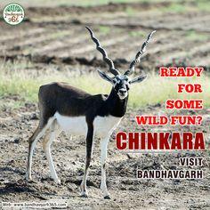 """Ready For Some Wild Fun? """"#CHINKARA VISIT #BANDHAVGARH""""!!!"""