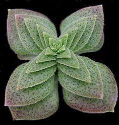Crassula capitella ssp. thyrsiflora