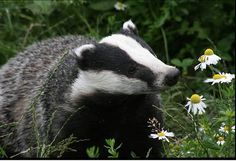 Badger/ Watch out they can be mean!
