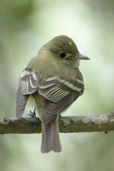 Acadian Flycatcher (Empidonax virescens)