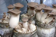 Alan Barker is trying to turn his hobby of fruiting mushrooms at home into a food business. Currently, these King Oyster Mushrooms are flourishing.