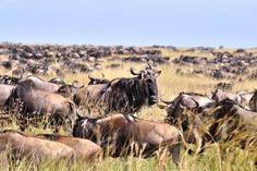 Africa Overland Tours: Kenya to Zambia Victoria Falls, Nairobi, Kenya, Safari, Moose Art, African, Tours, Animals, Animales