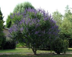 Vitex agnus-castus aka Chaste Tree  Blooms come in white, purple, blue or pink.