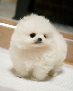teacup pomeranian | MS Puppy Connection