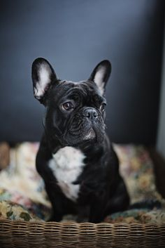 Style and Create — Frenchie love Black Puppy, Black Lab Puppies, Cute Dogs And Puppies, Baby Puppies, Corgi Puppies, Bulldogge Tattoo, Baby Animals, Cute Animals, Best Dogs For Families