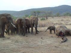 Abschied vom getöteten Elternteil: Elefanten sind soziale Tiere. Sie können...