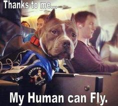All pit bulls should be service animals