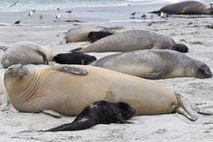 New born southern elephant seal (Mirounga leonina) pups and mothers on a beach, Sea Lion Island, Falkland Islands, South America