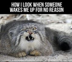 The Manul Cat. A very, very primitive feline. Their round pupils give them a disturbingly human-like appearance. Also they make hilarious faces like this oneomgwtfzocute. Haha Funny, Funny Cute, Funny Memes, Cat Memes, Funny Stuff, Hilarious Jokes, Freaking Hilarious, Memes Humor, Crazy Cat Lady