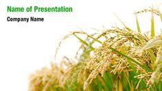Rice Plant PowerPoint Templates - Rice Plant PowerPoint Backgrounds, Templates for PowerPoint, Presentation Templates, PowerPoint Themes Free Powerpoint Presentations, Powerpoint Themes, Powerpoint Presentation Templates, Rice Plant, Ppt Themes, Presentation Backgrounds, Free Rice, Social Icons, Ppt Template
