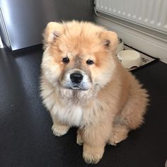 Best Chow Chow Chubby Adorable Dog - 683b2105c971e200679fd75fed1395f5--chow-chow-ps  Collection_607293  .jpg