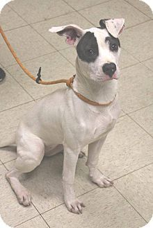 Cleveland, OH - Pit Bull Terrier Mix. Meet Dory-Urgent! Puppy!, a puppy for adoption. http://www.adoptapet.com/pet/11851491-cleveland-ohio-pit-bull-terrier-mix