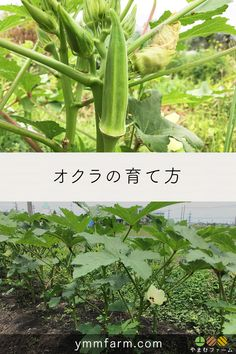 Home Greenhouse, Growing Veggies, Plantar, Okra, Medicinal Plants, Vegetable Garden, Home And Garden, Vegetables, Backyard Farming