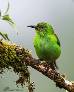 A Flash Of Green ! - This is an image a a female honeycreeper captured on our recent trip to Costa Rica. The green is so vibrant and it is so beautiful and you are just in awe of their beauty. Pretty Birds, Beautiful Butterflies, Beautiful Birds, Exotic Birds, Colorful Birds, Animal Photography, Nature Photography, Animals And Pets, Cute Animals