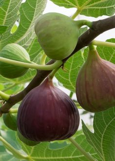 Fig 'Little Ruby' (Ficus carica)