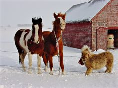 """Just after a cold March 2006 blizzard on our acreage in Remsen, Iowa, I put scarfs on my horses Flash, Piper & Magic. They then were looking at me with my camera & Piper smiled real big! Guess she's glad for her home, friends, & winter scarfs!"" (submitted by Jessica)"