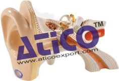 Atico is devoted and keen traders and suppliers of Biology Lab Equipment Manufacturers. They comprise Human Hand and Wrist Model, Foot Acupuncture, Ear Acupuncture Model, Human Nasal Cavity Model, Human Lung Model, Hen Anatomy Model, Rat Dissection Model and many more. Grab more: https://www.aticoexport.com