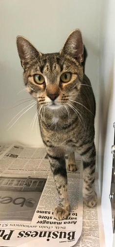 Melony - URGENT - Carteret County Humane Society in Newport, North Carolina - ADOPT OR FOSTER - 2 year old Female Domestic SH