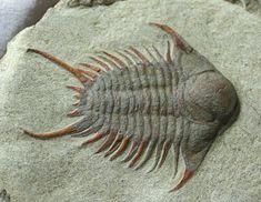 Foulonia Trilobite