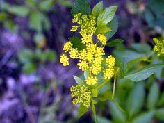 Zizia aurea (Golden zizia) Hosts Black Swallowtail