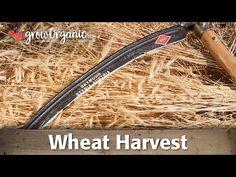 Wheat Harvest - YouTube