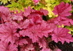 Berry Smoothie Heuchera - New for hot pink leaved Coral Bells. Thrives with Hardy Ferns, Hostas, & Heucheras. Shade Perennials, Shade Plants, Pink Leaves, Pink Flowers, Purple Rose, Shade Garden, Garden Plants, Coral Bells Heuchera, Begonia