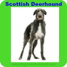 Everything about the Scottish Deerhound dog breed. Discover Scottish Deerhound coloring, sizing, traits, lifespan, and compare deerhounds to other breeds. Calm Dog Breeds, Dog Breeds List, Dog Training Books, Best Dog Training, Worlds Biggest Dog, World's Biggest, Scottish Deerhound, Irish Wolfhounds, Big Dogs