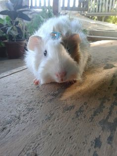 Conejillo de indias Tommy ♡♥♡♥ Guinea Pigs, Animals, Animales, Animaux, Animal, Animais