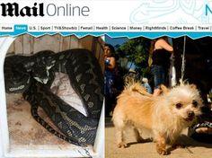 Australiana encontra cobra píton na casinha de seu cão, que foi comido. Quando a mulher chegou ao local, parte da corrente do cachorro ainda estava na boca do animal.