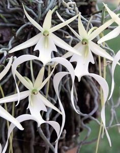 How to Care for Orchids So They Live & Grow Them Correctly So They Bloom: Learn How You Can Care for Your Orchids Quickly & Easily The Right Way Before You Kill Them Slowly & Painfully The Wrong Way Unique Flowers, Exotic Flowers, Beautiful Flowers, Orchid Drawing, Ghost Orchid, Endangered Plants, Rare Orchids, Orchidaceae, Cactus Y Suculentas