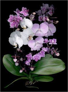 Elle's Orchids - Scanner Photography By Ellen Hoverkamp