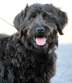 #NDAKOTA ~ Kiro - Golden Retriever/Poodle mix - 1 yr old - Male - 4 Luv Of Dog Rescue - in #Fargo - http://www.4luvofdog.org/wp/dogs_available - https://www.facebook.com/4LODRescue - http://www.adoptapet.com/pet/10809854-fargo-north-dakota-golden-retriever-mix - https://www.petfinder.com/petdetail/29256251/