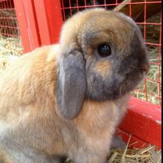 Harlo the holland lop bunny rabbit.  Love this lil guy.