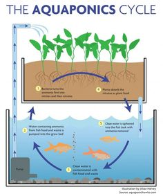 Here's a handy guide to home aquaponics. Aquaponics is a system that combines aquaculture (raising aquatic animals) and hydroponics (growing plants in water) in a symbiotic environment #aquaponics #homeaquaponics #selfsufficiency Aquaponics System, Aquaponics Greenhouse, Backyard Aquaponics, Hydroponic Gardening, Organic Gardening, Commercial Aquaponics, Plant Growth, Water Plants, Growing Vegetables