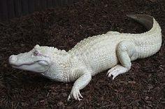 Albino Alligator - www.whysoblu.com