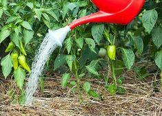 Лучшие подкормки для перца , в период роста и развития.Урожай растет на глазах!   Блог садовода   Яндекс Дзен