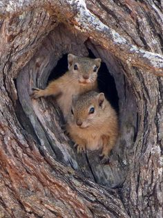 Two squirrels in a tree (knot hole)