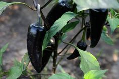 Black Hungarian Pepper: Dark Beauty #spicy #food #chilies