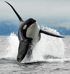 I saw an orca in the wild in Scotland last year it was epic