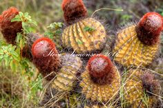 Turks Head Cactus<br /> St. John<br /> U.S. Virgin Islands