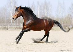 Ukrainian riding stallion | Ukrainian Riding Horse stallion Бесподобный (Bespodobnyy)
