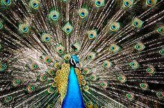 It has a hundred eyes on its tail which would activate fame, luck, promote public admiration and bring positive motives from other people. It is said that the magnificent peacock is able to relight the fires of an ailing relationship with the fiery energy of the animal. In decorative art, the peacock symbolises dignity and beauty.