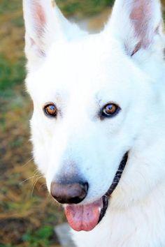 Dog ready for adoption: German Shepherd named Snoopy in Kansas City, MO