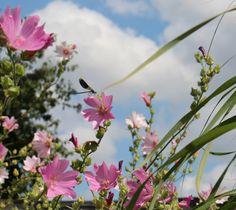 Weidebeekjuffer op mooie bloem