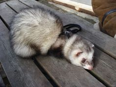 Can I have some ferret help please?