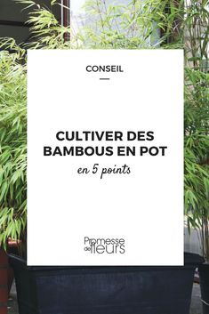 Cultiver un bambou en pot Bamboo in pots & Growing bamboo in pots, on the terrace or balcony is possible, it& even relatively simple! Discover our tips for choosing the right variety but also the right location and installing it in a state of the art.