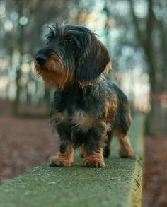 Dachshund Breed, Wire Haired Dachshund, Dachshund Love, Dachshunds, Doggies, Pet Dogs, Dog Cat, Kittens And Puppies, Little Puppies