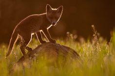 Junger Fuchs - Foto: Kevin Winterhoff